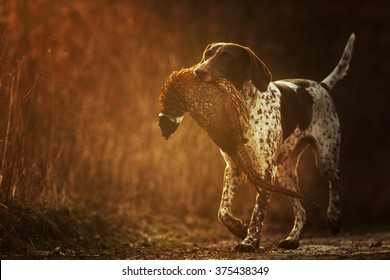 beautiful, happy, healthy, young and cavorting German Shorthaired Pointer dog or puppy carries in the mouth of everything is pheasant hunting training in the forest at sunset,