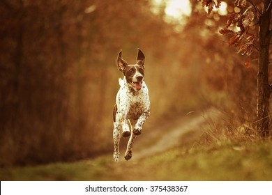 beautiful, happy, healthy, young and cavorting German Shorthaired Pointer dog or puppy jumping, flying and running on a dirt road in a forest at sunset,