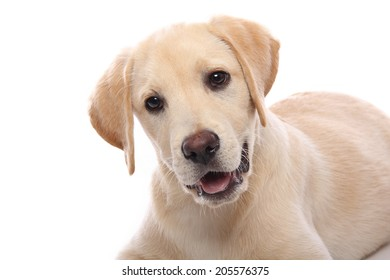 Beautiful happy labrador