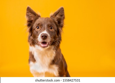 Beautiful happy red and white border collie on bright vibrant yellow background