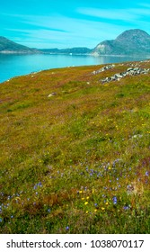 The beautiful Harebell Meadow (Campanula rotundifolia) at Hvalsey Viking Settlement near Qaqortoq on the west coast of Greenland.