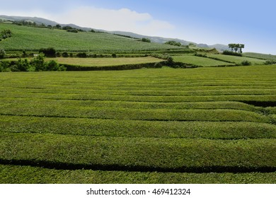 beautiful harvest landscape view of the oldest tea plantation in Europe at a farm in Gorreana field  in Azores island as an interesting travel destination landmark