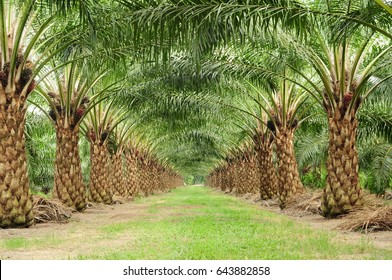 beautiful  harvesting row in oil palm field
