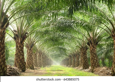 beautiful harvesting row in oil palm field with morning rays