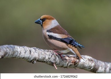 The beautiful Hawfinch (Coccothraustes coccothraustes) showing his profile while perching on the oak branch with a nice green defocused background. Uppland, Sweden