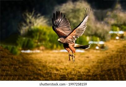 A beautiful hawk in flight. Hawk flight. Hawk in anture scene. Flight hawk