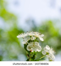 Beautiful hawthorn flowers close up with a natural green blurred background