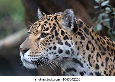 Beautiful headshot of a jaguar