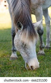 beautiful health white horse grazing in a spring grass meadow pasture in evening