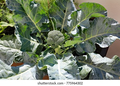 Beautiful and healthy broccoli plant raised in a planter as part of a home garden on an outdoor terrace at a condo.