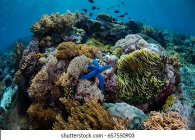 A beautiful and healthy coral reef grows in Komodo National Park, Indonesia. This area harbors extraordinary marine biodiversity and is a popular destination for scuba divers and snorkelers.