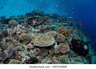 A beautiful and healthy coral reef thrives near Alor, Indonesia. This remote, tropical region, within the Coral Triangle, harbors extraordinary marine biodiversity.
