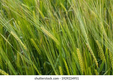 beautiful healthy green ears of barley in the field