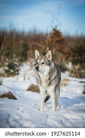 beautiful and healthy saarloos wolfdog posing in the snow