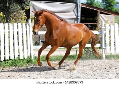 Beautiful healthy youngster canter against white paddock fence