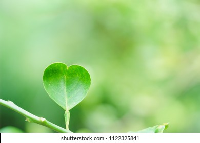 Beautiful heart shape of leaves plant tree ivy climber green tone blurred background with copy space for text or image. selective focus. Love romantic and valentine concept idea.