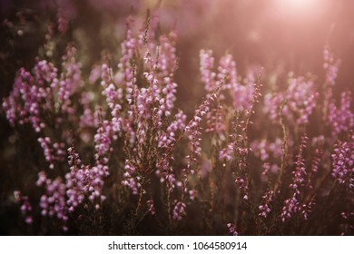 Beautiful heather flowers background. Close up of heather flowers against sunlight.