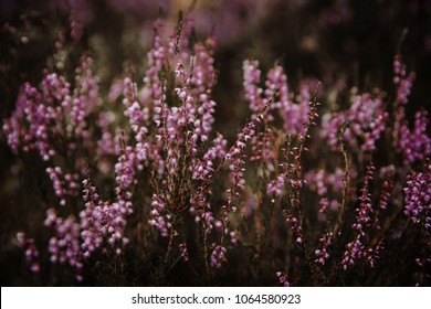 Beautiful heather flowers background. Close up of heather flowers
