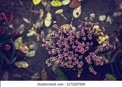 Beautiful heather flowers background. Close up of heather flowers.  pink heather in autumn basket. home decor.