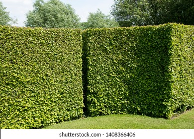 Beautiful hedge of Carpinus betulus or hornbeam