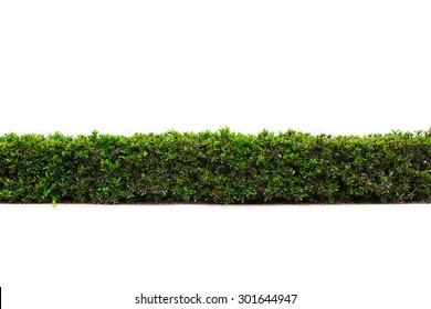 beautiful hedge fence isolated on white background