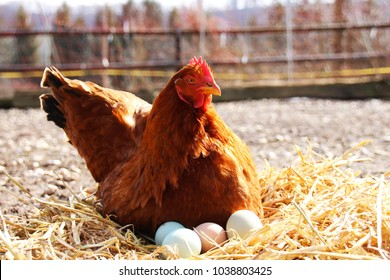A beautiful hen sitting on her eggs outside