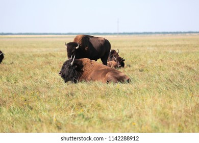 A beautiful herd of buffaloes is resting in high grass of National Safari park of Oskaniya Nova. Rare endangered breeds of wild buffaloes in the steppe of reserve. Red Book of Endangered Animals