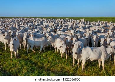 beautiful herd of Nelore cattle