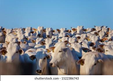 beautiful herd of Nelore cattle, narrow focus, hundreds of heads, Mato Grosso do Sul, Brazil