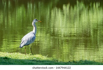 Beautiful heron at a lake