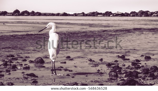 Beautiful Heron on the beach Black and Whte
