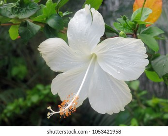 beautiful hibiscus flower blooming in white color