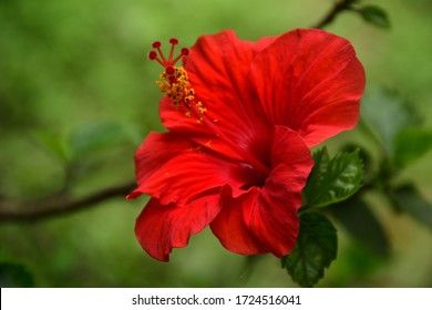 A beautiful hibiscus flower on branch