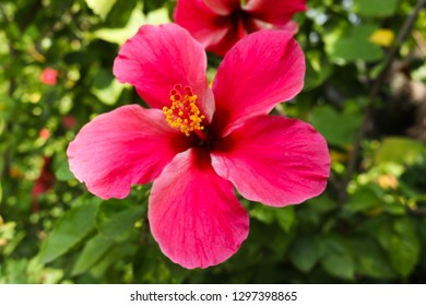 Beautiful Hibiscus rosa