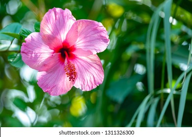Beautiful hibiskus flower closeup in greenery