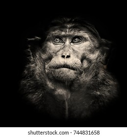 Beautiful high contrast black and white portrait of bonnet macaque monkey