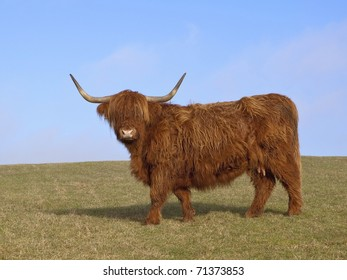 a beautiful highland cow on a grassy hillside on a clear february day with blue sky