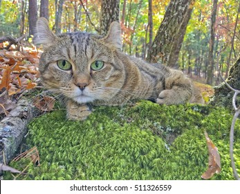 A beautiful Highland Lynx cat lying on a bed of moss surrounded by the colors of the fall leaves.