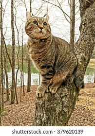 Beautiful Highland Lynx tabby cat sitting in a tree looking around, a lake is in the background.