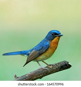 A beautiful Hill Blue Flycatcher is resting on the stone.(Cyornis banyumas)
