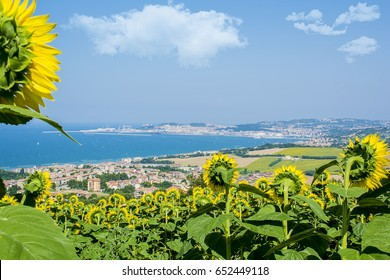 A beautiful hill strewn with a sunflower. Coast of the Adriatic Sea near the city of Ancona Italy