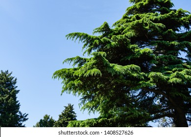 Beautiful Himalayan Cedar (Cedrus Deodara, Deodar Cedar) growing on the Black Sea coast in city Tuapse. Bright fresh spring needles against blue cloudless sky. There is place for text