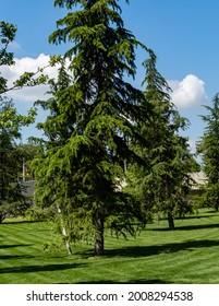 "Beautiful himalayan cedar (Deodar Cedar, Himalayan Cedar) on green lawn. City Park ""Krasnodar"" or Galitsky Park. Place of rest for townspeople at any time of year."