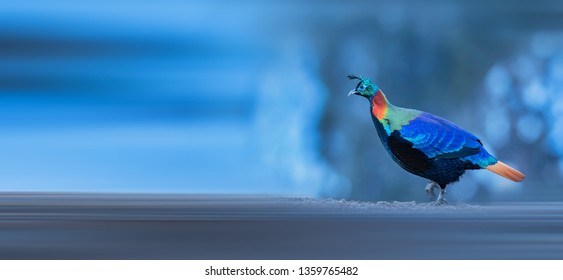Beautiful Himalayan Monal