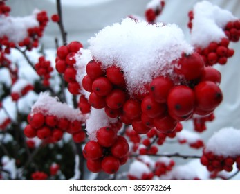 Beautiful Holly, Red Berries, and Snow