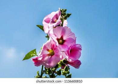 Beautiful Hollyhock flower background blue sky.