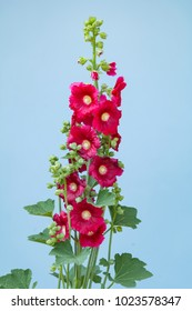 Beautiful hollyhock flower in garden