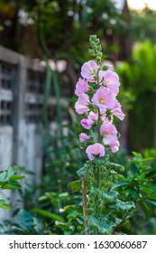 Beautiful hollyhock flower in garden. Pink malva Silvestris. Mallow. Vervain mallow or hollyhock mallow in summer. Hollyhock flower blossoms in the park, Luannan County, Hebei Province, China