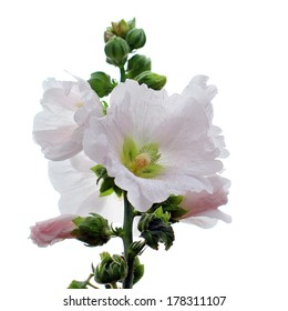 beautiful hollyhock flower isolated on white background