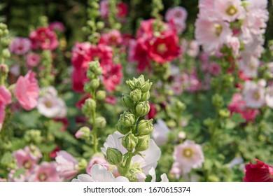 Beautiful hollyhock flowers in the garden